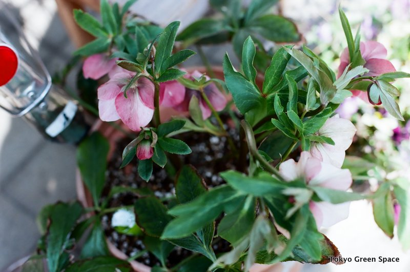 christmas_rose_hellebore
