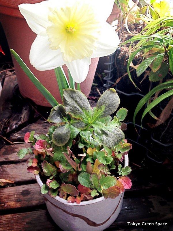 daffodil_balcony