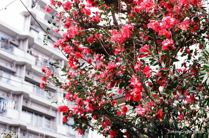neighbor_camellia_winter_nakano