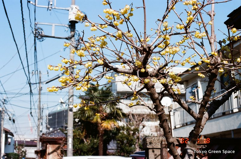 winter_flower_tree_Chimonanthus_nakano_wires_palms