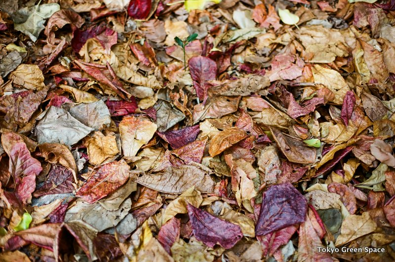 fallen_leaves_chichijima