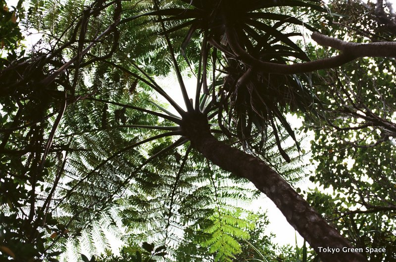 tree_fern_chichijima