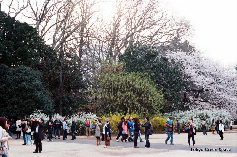 crowds_trees_hanami_shinjukugyoen