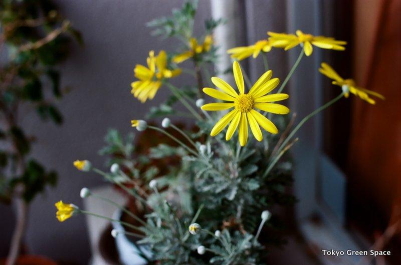 yellow_daisy_balcony_nakano
