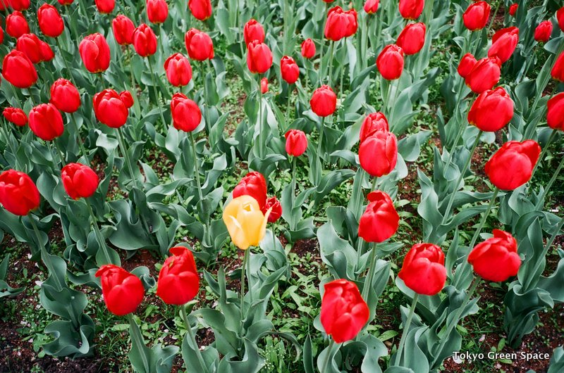 red_tulips_yellow_parkavenue_median_spring