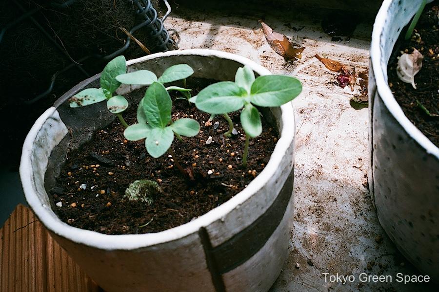 sunflower_seedlings_home_balcony