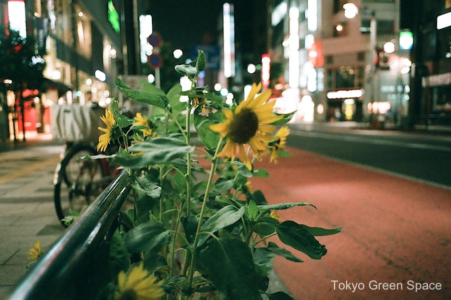 sunflowers_shinjukusanchome_sidewalk