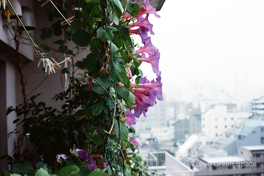 balcony_morning_glory_midsummer_nakano