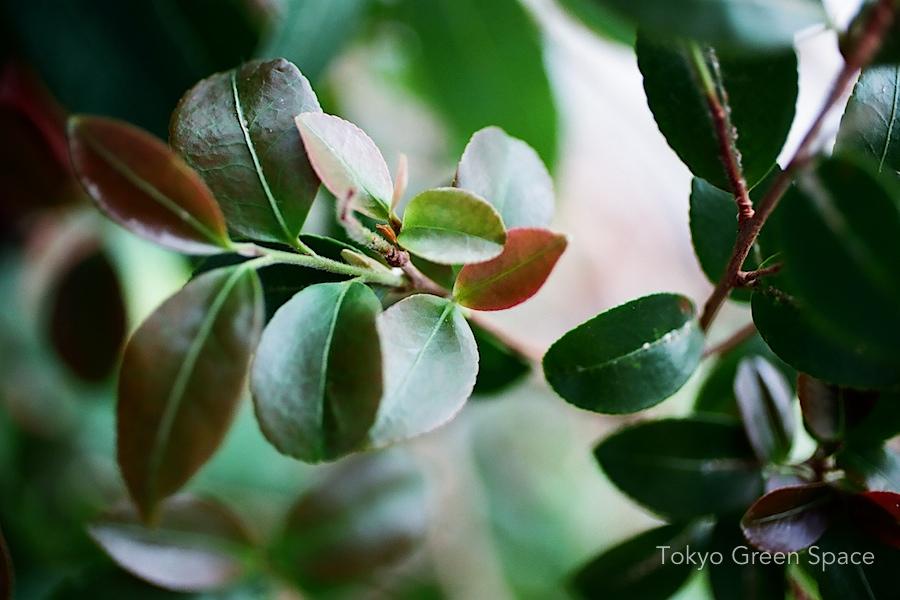 camellia_leaf_detail_balcony_nakano