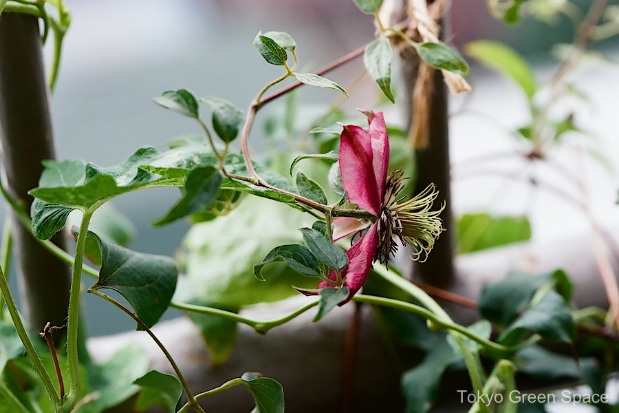 clematis_balcony_dark_red