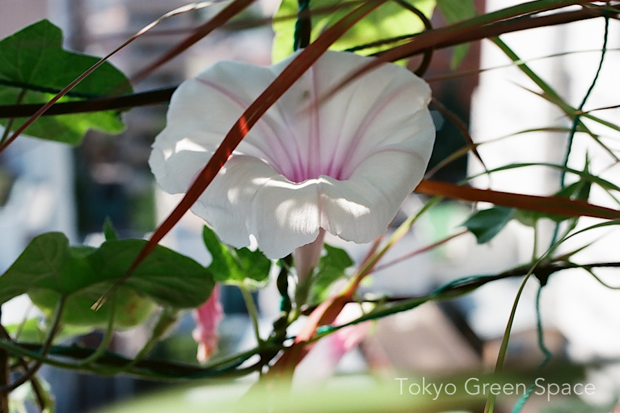 pink_white_edo_morningglory_nakano