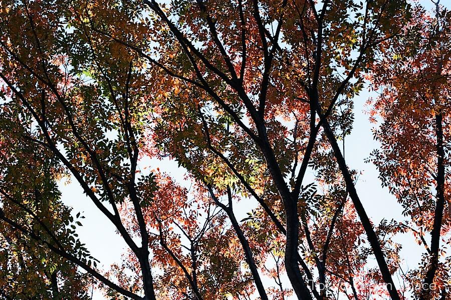 earlyfall_tokyo_leaves