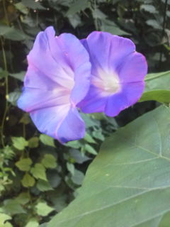 morning_glory_teshigotoyakuge_garden