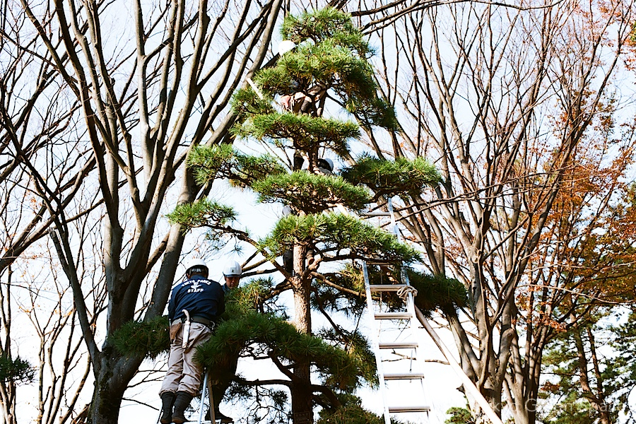 tree_pruning2_yoyogi_park