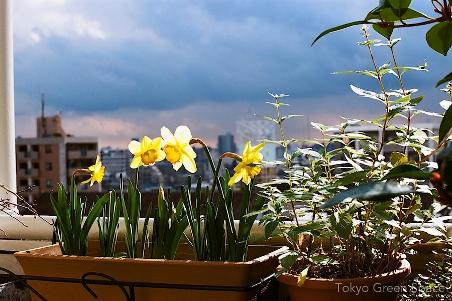 daffodils_winter_nakano_balcony