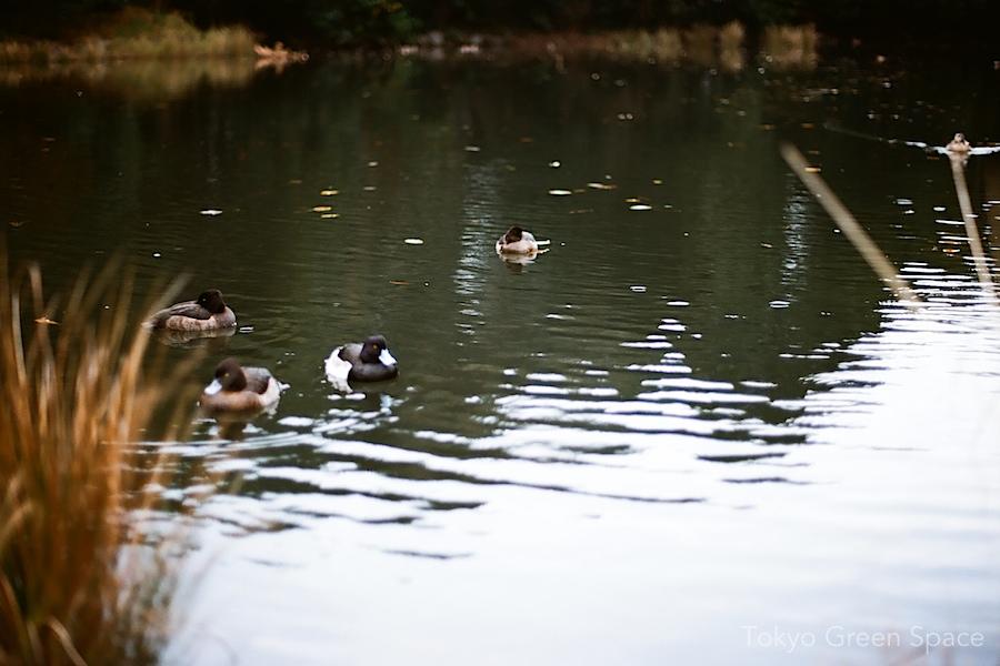 Tokyo_ducks_shinjukugyoen