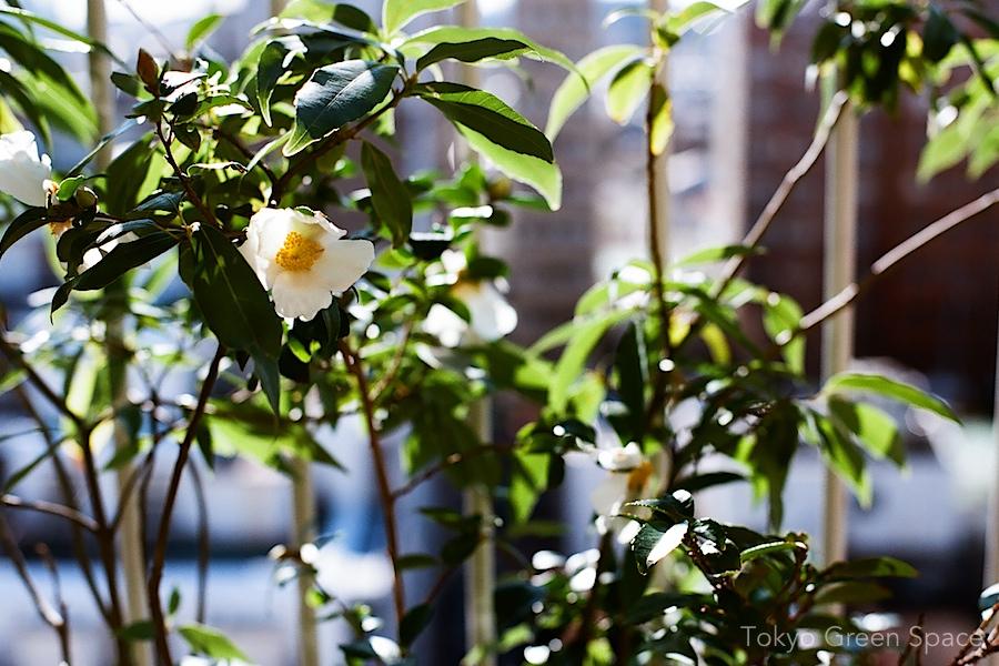 white_camellia_nakano_balcony