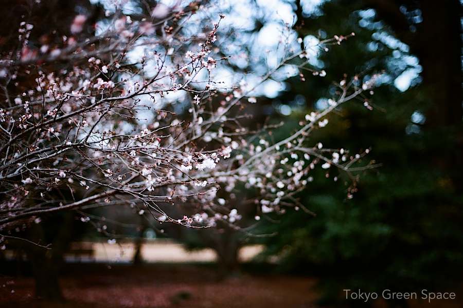 winter_cherry_shinjukugyoen