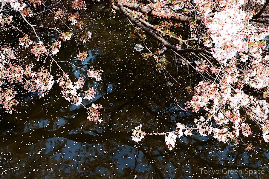 cherry_petals_lakes_shinjukugyoen