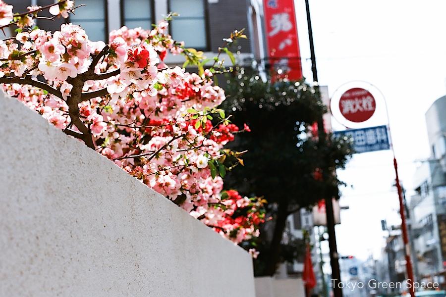 cherry_sidewalk_sendagaya