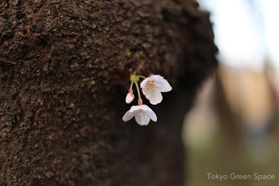 hanami_zenpukujikawa_closeup