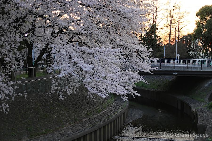 hanami_zenpukujikawa_sunset
