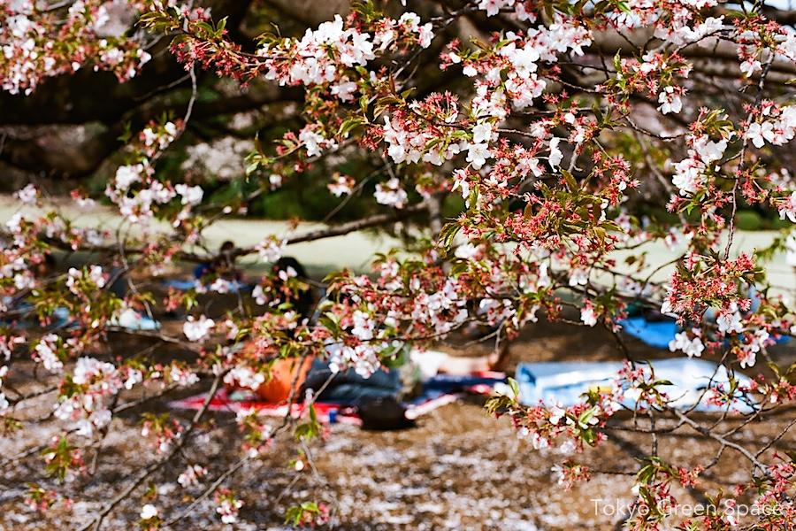 sakura_picnic_shinjukugyoen