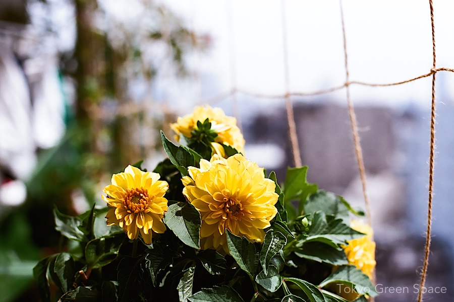 dahlia_balcony_yellow
