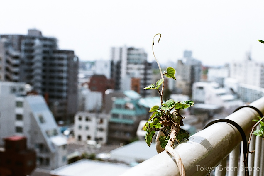 morning_glory_balcony_new_shoots