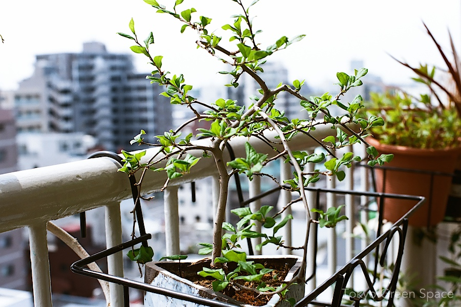 persimmon_bonsai_balcony