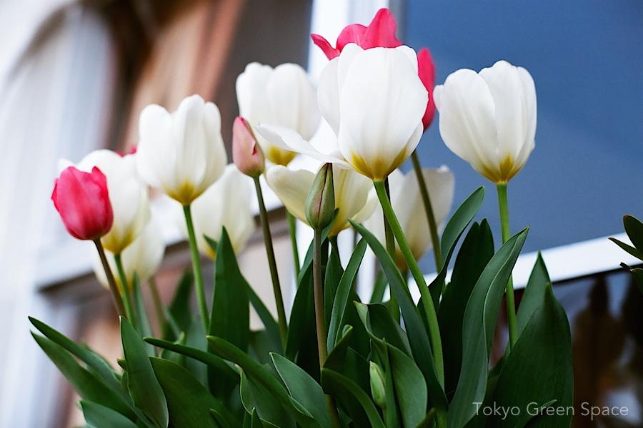 tulips_balcony_window