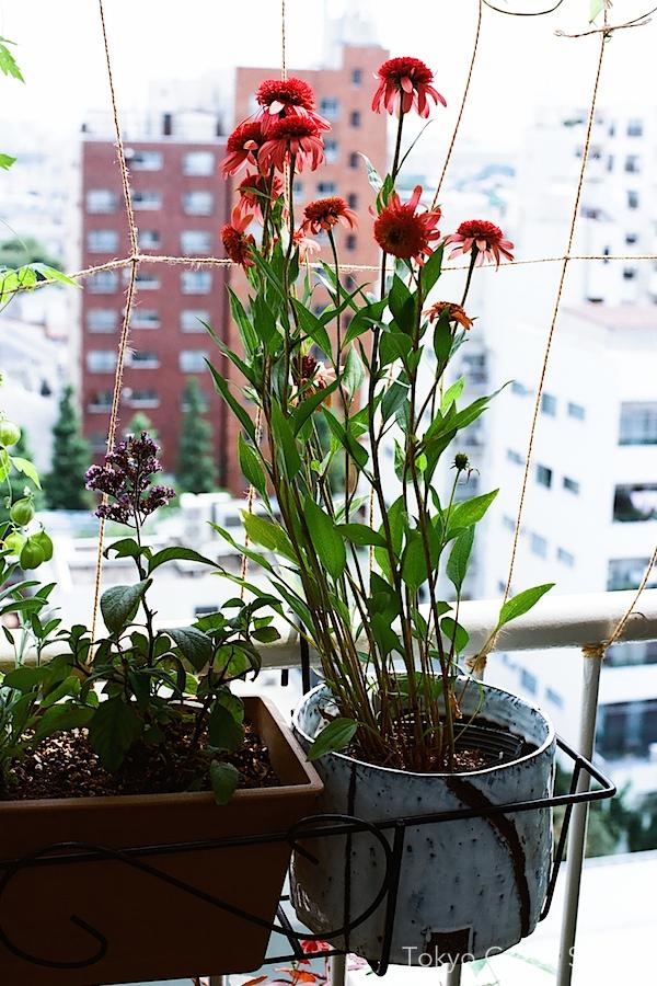 echinacea_balcony
