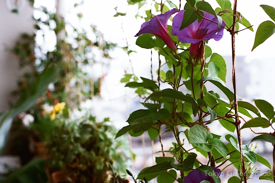 morning_glory_okinawa_purple