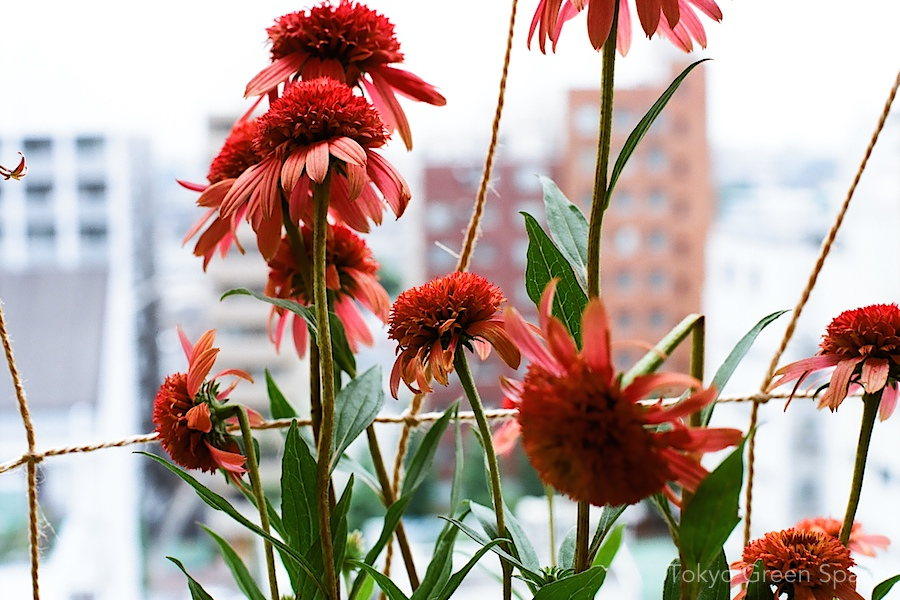 echinacea_balcony_close