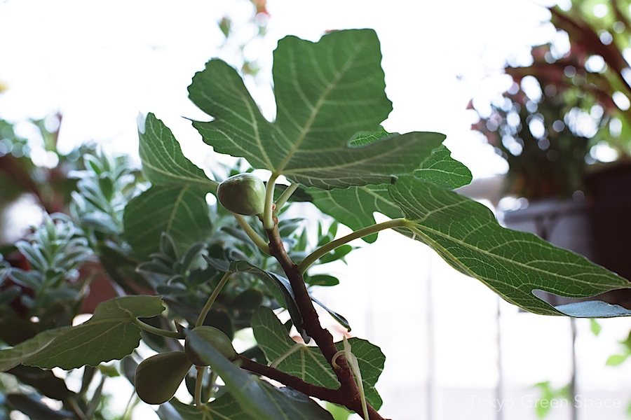 fig_balcony_leaf_fruit