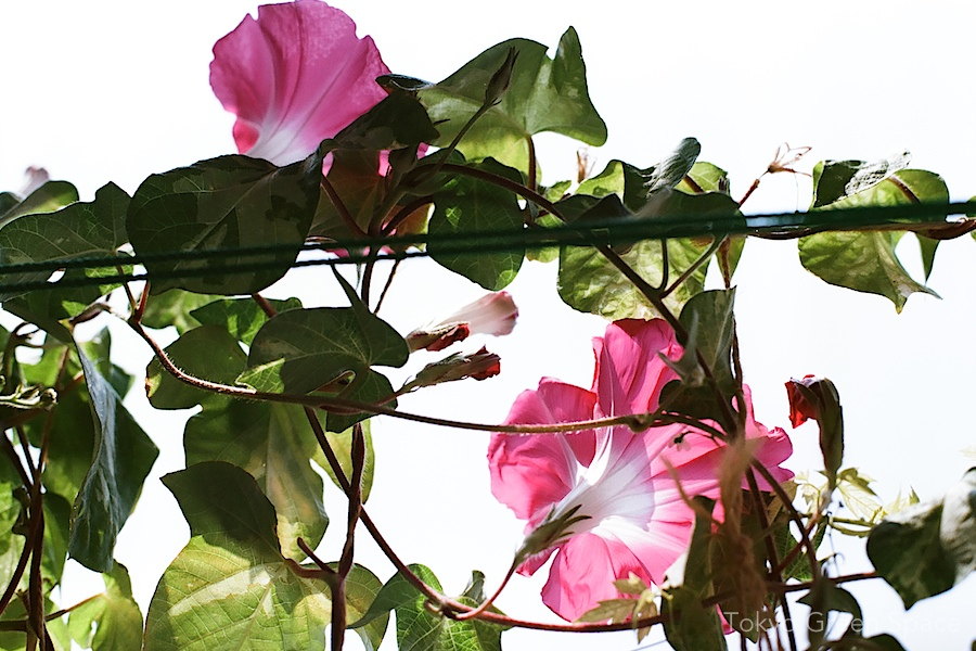 morning_glory_pink_detail_balcony