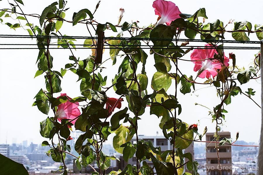 morning_glory_pink_skyline_balcony