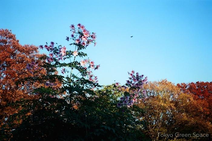 tree_dahlia_fall_yoyogi_park