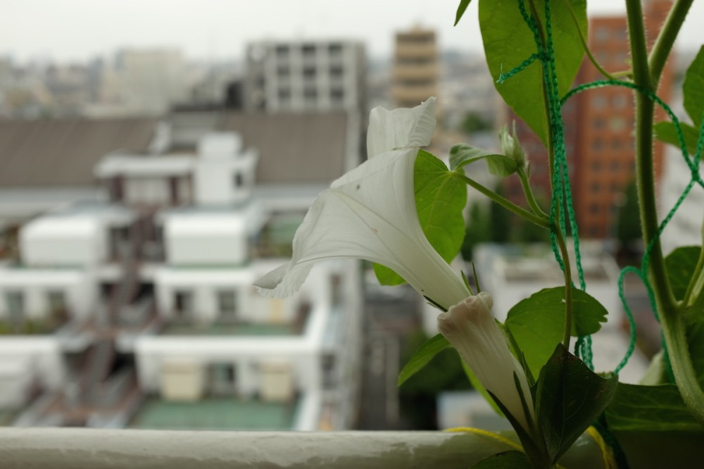 edo_morning_glory_nakano
