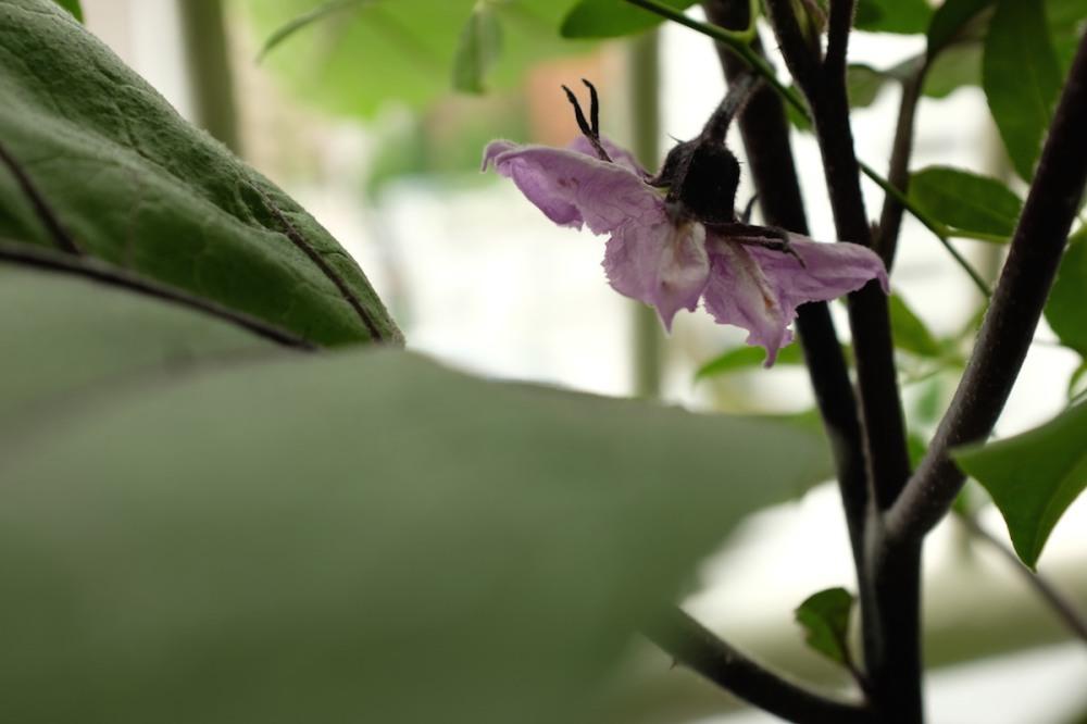 eggplant_flower_nakano_balcony