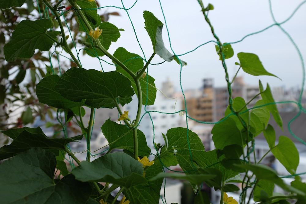 melon_flowers_balcony_nakano