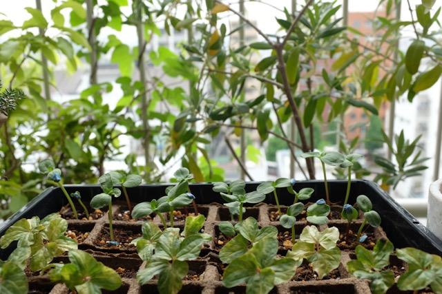 seedlings_morningglory_sunflowers_tokyo_balcony