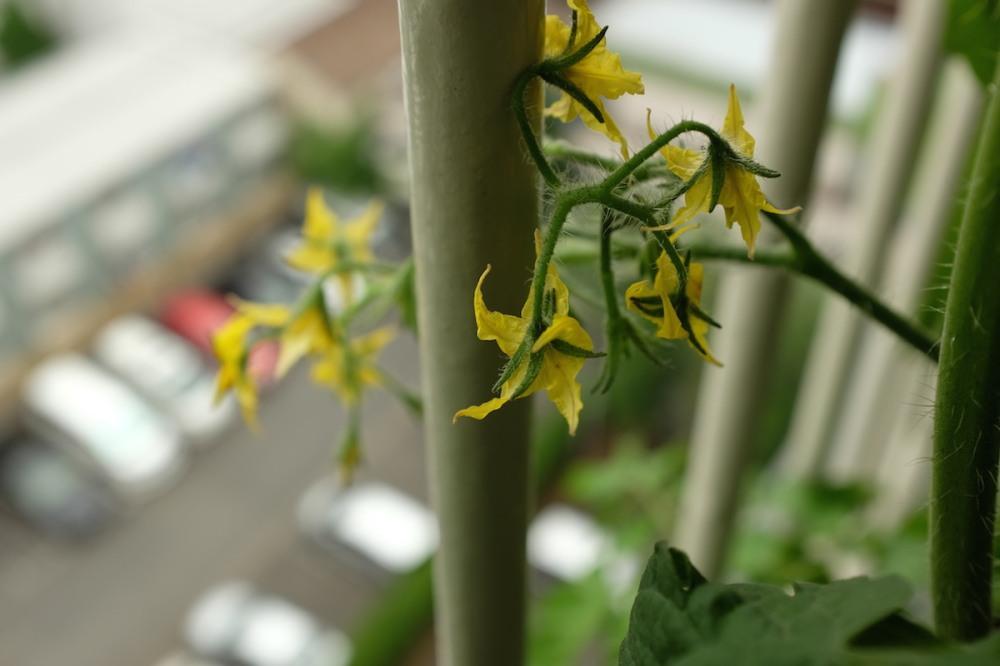 tomato_flowers_balcony_nakano
